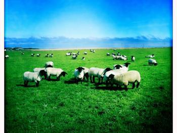 苏格兰养羊14