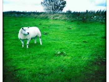 苏格兰养羊