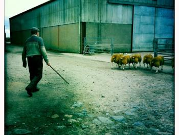 苏格兰养羊02