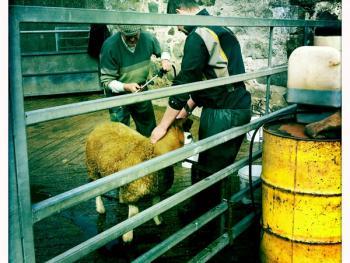 苏格兰养羊08