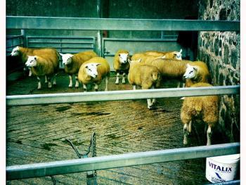 苏格兰养羊09
