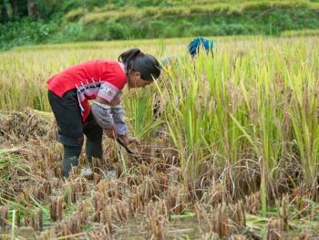 哈尼梯田的稻作农耕11