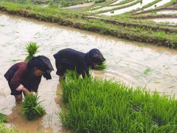 哈尼梯田的稻作农耕09