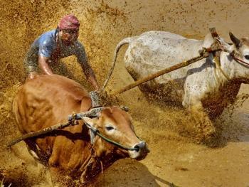 苏门答腊奔牛竞技10