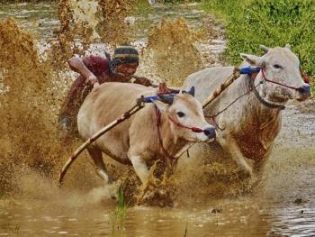 苏门答腊奔牛竞技11