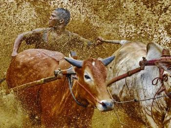 苏门答腊奔牛竞技12