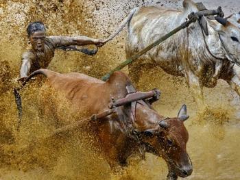 苏门答腊奔牛竞技13