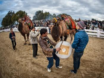 土耳其传统骆驼摔跤节