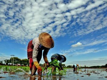 缅甸稻谷生产