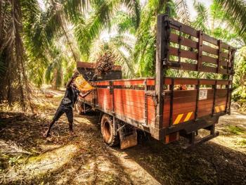 马来西亚收棕榈果10