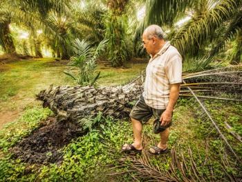 马来西亚收棕榈果