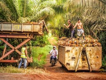 马来西亚收棕榈果02