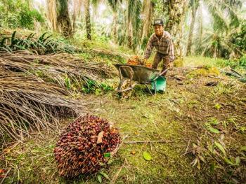 马来西亚收棕榈果03
