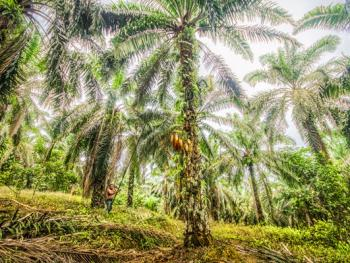 马来西亚收棕榈果05