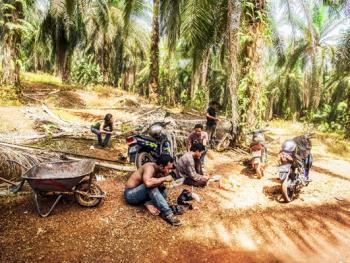 马来西亚收棕榈果07