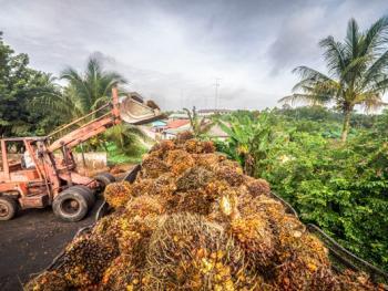 马来西亚收棕榈果08