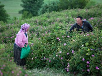 玫瑰的采集加工