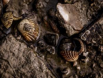 印尼挖蛤蜊04