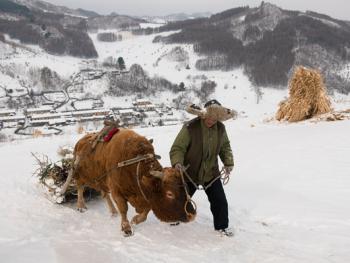 关东山区牛爬犁10