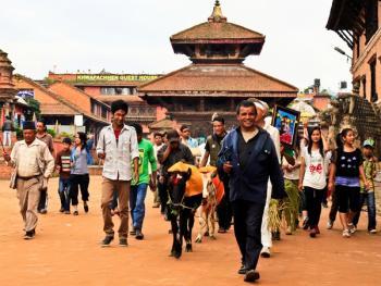 尼泊尔神牛节01