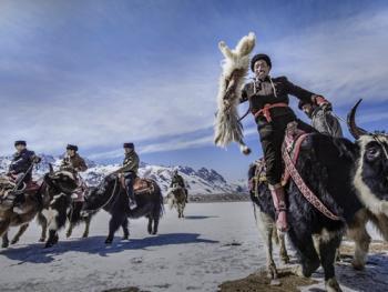 塔吉克牦牛叼羊