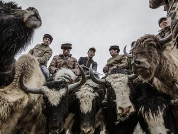 塔吉克牦牛叼羊04