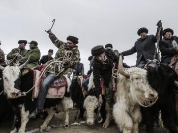 塔吉克牦牛叼羊06