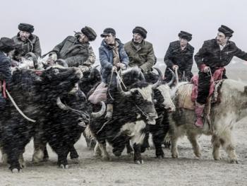 塔吉克牦牛叼羊08