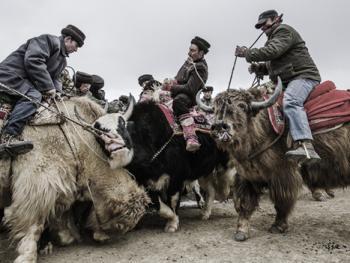 塔吉克牦牛叼羊09