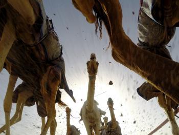马克图姆骆驼赛