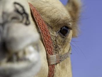 马克图姆骆驼赛7