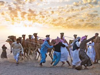 阿曼赛骆驼1