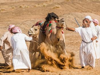 阿曼赛骆驼4