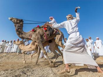阿曼赛骆驼7