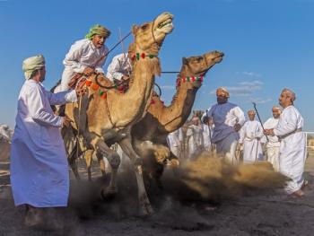 阿曼赛骆驼