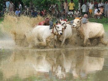 西孟加拉驾牛比赛10