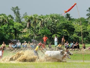 西孟加拉驾牛比赛11