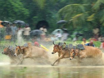 西孟加拉驾牛比赛14