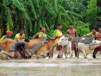 西孟加拉驾牛比赛04