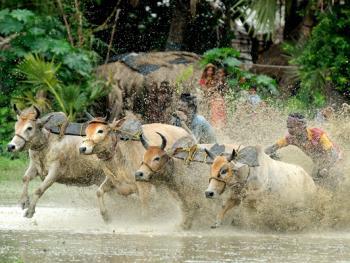 西孟加拉驾牛比赛05