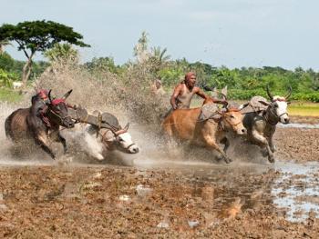 西孟加拉驾牛比赛06