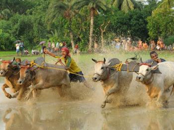 西孟加拉驾牛比赛07