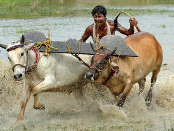 西孟加拉驾牛比赛