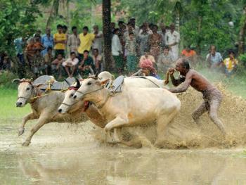 西孟加拉驾牛比赛09