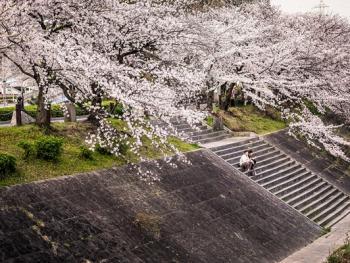 日本樱花节03
