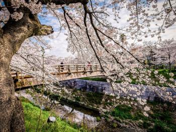 日本樱花节05