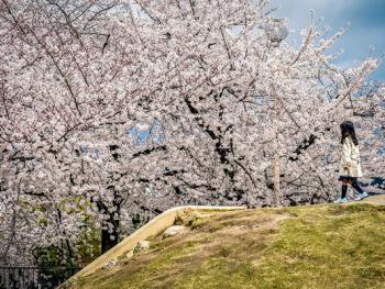 日本樱花节07
